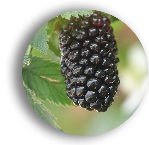 Elanza Fresh Blackberries